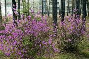 Богатство саянских лесных массивов - багульник